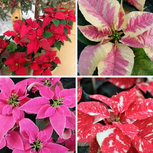 Beautiful Poinsettias!