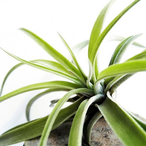Creating an Air Plant Wall Planter