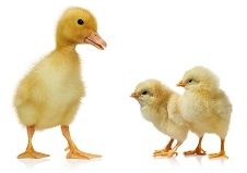 Ducklings & Bantams Preorder Sale