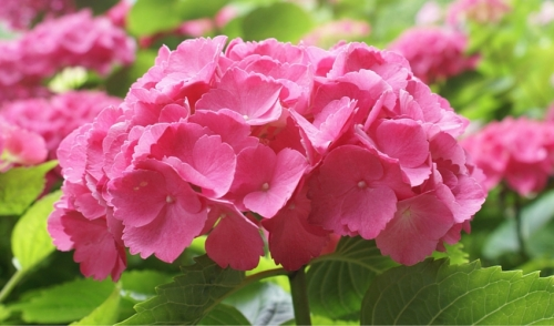 Your Guide to Fall Hydrangea Care