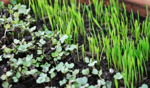 Grow Microgreens This Winter