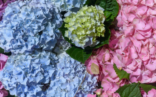 Hydrangeas: True Blue or Tickled Pink