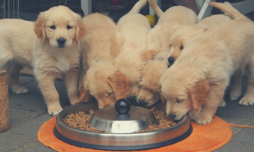 goldens eating