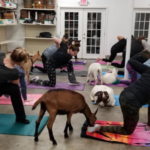 Goat Yoga at Starkie Brothers Garden Center