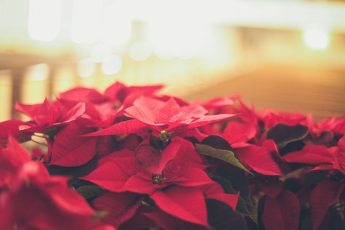 Poinsettia Do's and Don'ts