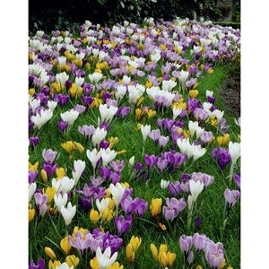 Crocus Large Flowering Mixture, 12 Bulbs