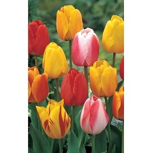 Tequila Sunrise Tulip Mixture , 7 Bulbs