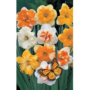 Butterfly Mixture Narcissus, 4 Bulbs