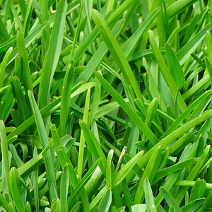 BFG Supply Annual Ryegrass Seed 5 lb.